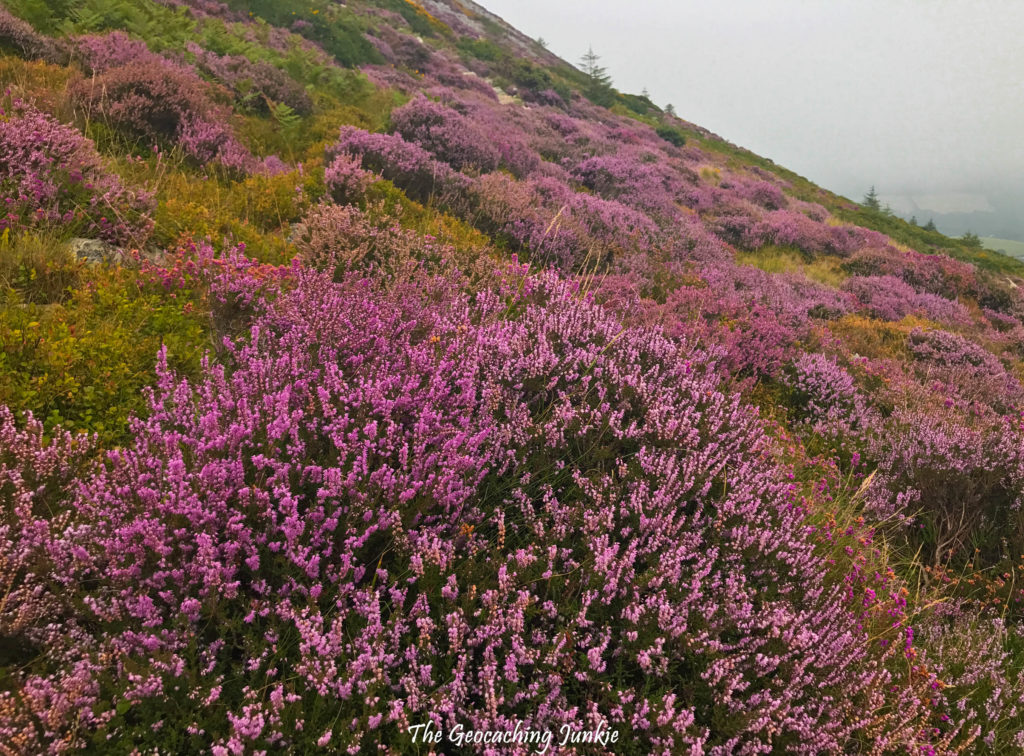 Wild purple heather in bloom on Great Sugar Loaf, County Wicklow